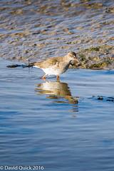 (DavidQuick) Tags: england reserve hampshire marsh redshank wildlifetrust farlington copyrightdavidquick2016