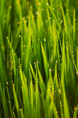 Padi Perfection (Triple_B_Photography) Tags: above morning bali blur green beautiful field canon asian eos dewdrops asia rice paddy bokeh dew padi indah stalk ubud