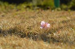 Petals of cherry blossoms (hisanori61) Tags: nature japan cherry petals nikon outdoor cherryblossoms 18200mm kadoike d7000
