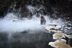 Jigokudani Yaen-Koen (Snow monkey park)Nagano (Iyhon Chiu) Tags: japan japanese monkey  hotspring  spa nagano   jigokudani snowmonkey   2015      yaenkoen jigokudaniyaenkoen    snowmonkeypark
