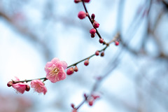 Bloom faintly in winter (sonica@2006) Tags: winter flower japan was still bokeh plum it bloom fujifilm but shizuoka izu colder bloomed xm1 faintly cutely platinumheartaward xf35