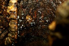Anotheca spinosa (Bigeyesworld) Tags: eggs clutch treefrog spinosa anotheca hylids