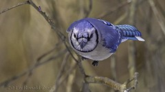 Blue Jay in-flight IMG_8183 (ronzigler) Tags: blue bird nature canon jay flight sigma avian birdwatcher 150600mm