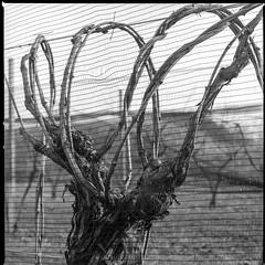 vite (voste78) Tags: bw hasselblad delta100 ilford friuli develop rete ilfordddx filare tralci viteduva