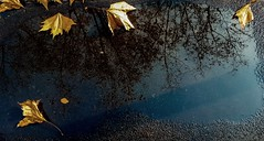 169/365 Leaves over leaves (darioseventy) Tags: reflection water leaves rain foglie puddle riflesso pozzanghera