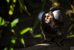 Ouistiti à Toupets Blanc - Zoo de Fort-Mardyck