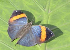 indian leafwing (GE fotography) Tags: uk england orange black butterfly leaf indian butterflies surrey exotic tropical wisley rhs blus kallima 8855 paralekta