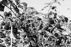 Late summer fruits (bindysmith) Tags: summer blackandwhite bw food nature fruits fruit latesummer summerfruits blackberrys