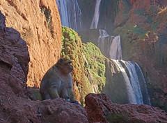 Macaque at Ouzoud (Andy Latt) Tags: wild animal monkey waterfall sony falls morocco maroc macaque ouzoud andylatt ouzoudfalls rx100m3 dsc008241