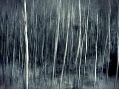 attenti al lupo... (Rino Alessandrini) Tags: trees abstract alberi forest dark bush branches fear selva mysterious barcode trunk moved astratto thick rami buio bosco misterioso foresta mosso oscuro macchia paura tenebroso fusto fitto
