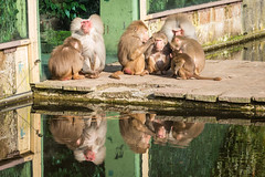 2016-02-28-11h02m41.BL7R9333 (A.J. Haverkamp) Tags: zoo thenetherlands amersfoort hamadryasbaboon papiohamadryas dierentuin dierenparkamersfoort mantelbaviaan httpwwwdierenparkamersfoortnl canonef100400mmf4556lisusmlens