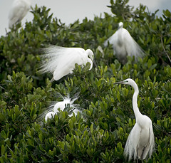 great egrets breed MP GX8 stx85 TLS APO23_1090058 (neilfif11) Tags: hongkong breed nesting maipo greategrets panasonicgx8 swarovskitlsapo23 swarovski85