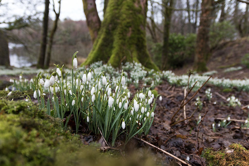 Mugdock Snowdrops