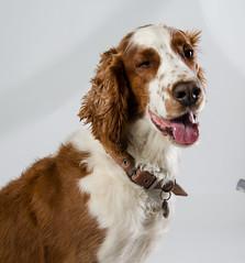 welsh-15 (Action Petz!) Tags: park uk dog dogs wales puppies south cardiff canine bark spaniel springer dogpark dogphotography welshspringer doggydaycare dogfun welshspaniel actionpetz