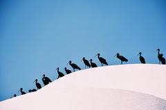 The meeting... (mostaphaghaziri) Tags: blue white black birds nikon d plegadis falcinellus glossy ibis mm nikkor 18 140 7200