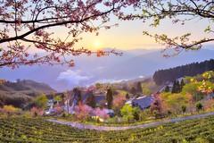 ~~ Cherry blossom Sunrise (Shangfu Dai) Tags: clouds sunrise landscape nikon tea taiwan cherryblossom formosa         teafarm     af20mmf28d d810e