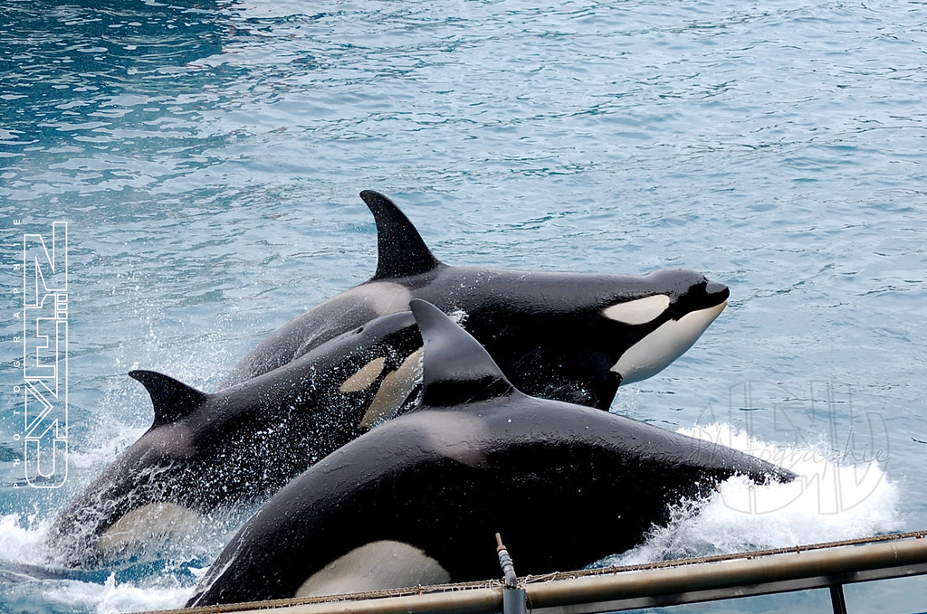 The World's Best Photos Of Orque And Seaworld