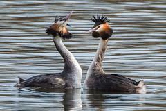 The Bond (jgsnow) Tags: bird ngc waterbird npc grebe greatcrestedgrebe greatcrested
