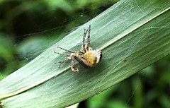 Jumping Spider (Molting) , Singapore (singaporebugtracker) Tags: up skin shed exoskeleton curledup peel molting cuticle hydraulicpressure kampongtrail singaporebugtracker