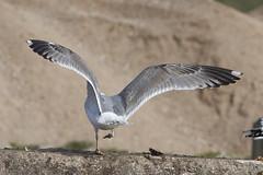 Herring gull / Larus argentatus / Zilvermeeuw 3cy (Herman Bouman) Tags: caspiangull laruscachinnans pontischemeeuw