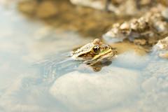 (Karolinn) Tags: frog grenouille verte