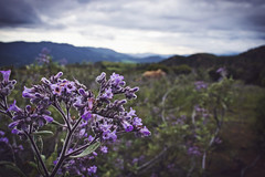 Yerba Santa (Nathan Wickstrum) Tags: santa canyon ojai yerba lospadresnationalforest sisar