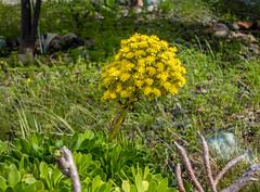 Aeonium in bloom 1 (randyherring) Tags: california ca flowers plant green yellow us succulent afternoon unitedstates outdoor bloom losgatos aeonium