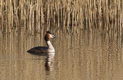 Great Crested Grebe (Antony Ward) Tags: bird reflections greatcrestedgrebe yorkshirewildlifetrust