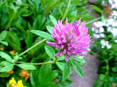 Clover (Irina Falina) Tags: life pink flowers summer plant macro green nature colors field closeup out leaf focus day purple blossom head meadow culture petal growth single backgrounds clover wildflower herbal pollination