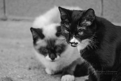 Street Gangsta (Lihoman...) Tags: street blackandwhite bw pet white black animal animals cat kitten bokeh siberian negra blanka              lihoman