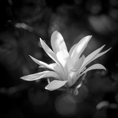 Dancing Ballerina (qgrainne) Tags: flowers ireland light blackandwhite white black flower macro garden spring nikon ballerina bokeh branches 100mm tokina shade magnolia lightroom westmeath d610