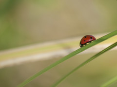 Bte  bon Dieu ** (Titole) Tags: grass ladybird ladybug coccinelle friendlychallenges thechallengefactory titole nicolefaton