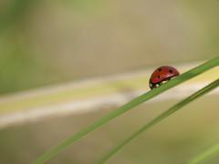 Bête à bon Dieu **--- ° (Titole) Tags: grass ladybird ladybug coccinelle friendlychallenges thechallengefactory titole nicolefaton