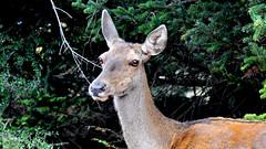 Parnes (Ava Babili) Tags: mountain nature deer greece attica parnitha parnes