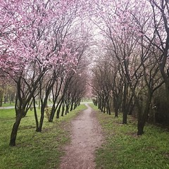 Path.  2006-2016 t.t.a.b. - #paths... (Tomski TTABOGRAPHY) Tags: pink trees green grass photography spring time cloudy poland days paths leafs ano freelance mankind decisions tomski togetherwecan ttab uploaded:by=flickstagram igerspoland igerseurope klobuckcounty instagram:photo=12282699649501132401484642177 ttabography anoprojekt panatommedia