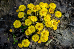 Tussilago (Ruthgard) Tags: flower yellow spring bokeh soil dirt coltsfoot tussilago hsthov