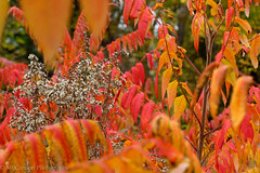 72  (1 of 1)-3 (McCannon Photography) Tags: red orange plants nature leaves yellow outdoors michigan vibrant cotton breathe pure aesthetic