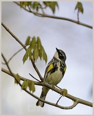 yellow-rumped warbler (Christian Hunold) Tags: bird philadelphia warbler songbird yellowrumpedwarbler johnheinznwr woodwarbler kronwaldsnger christianhunold