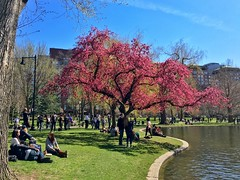 Boston Public Garden in Springtime ((Jessica)) Tags: flowers people sun boston spring downtown massachusetts newengland sunny cherryblossoms bostoncommon cherrytree publicgarden pw