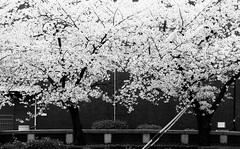 Monochromatic Sakura (Jon-F, themachine) Tags: flowers trees plants plant flower tree nature japan asian outdoors flora asia olympus nagoya  cherryblossom  sakura cherryblossoms nippon japo oriental  orient   fareast  aichi nihon hanami  omd    chubu japn    2016 m43  mft    mirrorless  chuubu   micro43 microfourthirds  ft xapn jonfu  mirrorlesscamera snapseed   em5ii em5markii