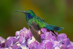 Violet-eared Hummingbird (Eric Gofreed) Tags: costarica hummingbird savegre sangerardodedota violetearedhummingbird hoteldemontanasavegre