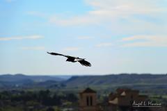 Surcando el cielo de Toledo (almorenoa) Tags: urban espaa naturaleza bird animal spain natural toledo ave urbana pjaro canon70d