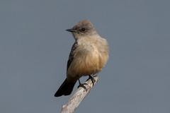 Say's Phoebe (Jeremy Meyer) Tags: bird phoebe says flycatcher saysphoebe