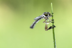 AsilidaeLeptogaster2-2343 (improsara) Tags: macro insects insekten insetti macrophotography macrofotografia d90 nikkor60mmmicro macro2016 asilidaeleptogaster