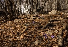 Primavera nel bosco (emanuel.foglia) Tags: italy primavera foglie flora nikon natura fiori viola petali lombardia lecco bosco hepaticanobilis sottobosco fioritura ballabio erbatrinit nikkorafs18105 d7200