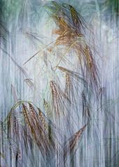 Summer Barley (Ali's view) Tags: summer barley layers