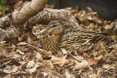Cadpat Quack (flashfix) Tags: ontario canada tree nature leaves animal cake duck nikon branches ottawa ground mallard fowl mothernature mallardduck 2016 sittingduck d7000 55mm300mm 2016inphotos may022016 httptinyurlcomhtcaqvx