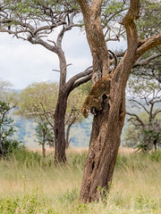 Leopard jump down (davdenic  in the sky ) Tags: africa nature tanzania wildlife safari ngorongoro serengeti savanna savana