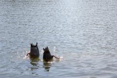 Frühlingserwachen - spring awakening (nemodoteles) Tags: dresden duck spring ente frühling carolasee