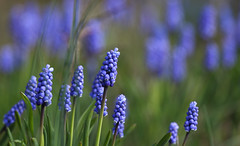 Blues Invasion (AnyMotion) Tags: flowers blue plants primavera floral colors spring colours blossom bokeh frankfurt blau blte printemps farben frhling muscari 6d grapehyacinth 2016 botanischergarten anymotion traubenhyazinthe canoneos6d